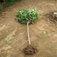 壹棵树农业大量供应1.5米高嫁接红灯樱桃苗成苗 价格低质量优