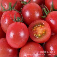 红圣女果小番茄 种子 迷你可爱 阳台盆栽四季种 蔬菜种子