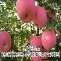 壹棵树农业 红肉苹果苗 红肉苹果苗基地在哪 价格合理