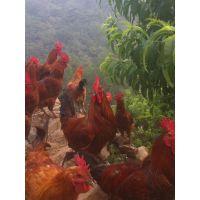 信昌孵化场出售优质土鸡苗提供技术指导