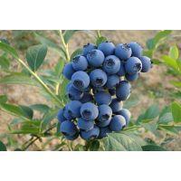 哪有蓝莓幼苗卖|云南蓝莓幼苗|百色农业