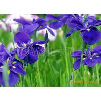 花卉苗木 蝴蝶花 蝴蝶兰 花朵象蝴蝶的花木