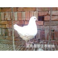山东元宝鸽,公斤鸽价格,公斤鸽养殖基地