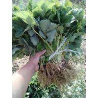 广东草莓苗种苗,草莓苗图片,低价草莓苗供应厂家