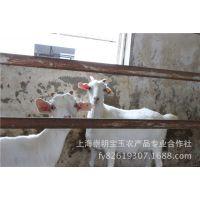 崇明绿色食品标准化生产基地  白山羊养殖
