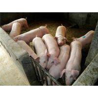 山东仔猪基地山东临沂仔猪养殖场价格