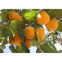柿子树苗 山东3-15公分柿子树价格 规格齐全 货源充足 柿子树产地