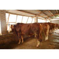 云南养殖网云南畜牧网 大量供应三元杂交牛牛犊种牛 肉牛育肥技术