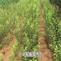 优质脆红李李子苗 高产量低价格 壹棵树农业直销 2年结果