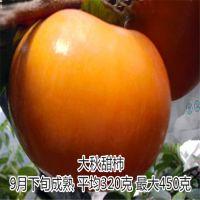 富有柿子苗基地 量大优惠100%纯种 泰东园艺场