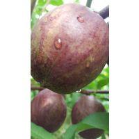 供应山东优质一年生紫桃