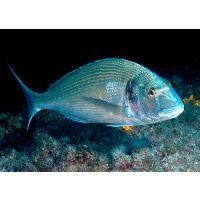 供应金头鲷鱼苗,大西洋鲷