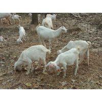 舌尖上的中国【越活草本】上海散养羊肉批发羊后腿批发供应价格