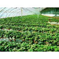 法兰地草莓苗、晨旭苗木园艺场、法兰地草莓苗病虫防治