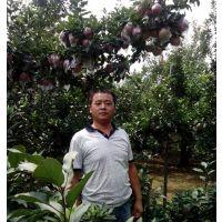 80厘米高苹果苗价格,新红星苹果苗厂家
