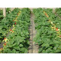 脱毒草莓苗培育|贵港脱毒草莓苗|世杰园艺场