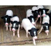 小香猪特种养殖家畜家庭式宠物小型猪种观赏型动物品种猪