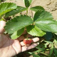 批发草莓苗 红颜草莓苗 章姬草莓苗 山东草莓苗种植基地 草莓苗价格低廉