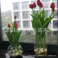包开花进口郁金香种球 室内盆栽花卉绿色植物水培郁金香颜色随机
