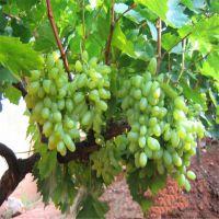 泰安成运苗圃直销优质葡萄苗 2年生嫁接葡萄大苗品种纯正 规格齐全