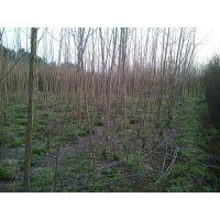 杨树苗米径2公分大量批发