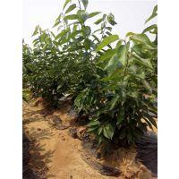 泰肥农场(图)|岱红樱桃树出售|樱桃树