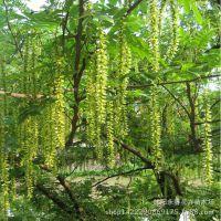 枫杨树苗 麻柳 蜈蚣柳 枫柳皮元宝树 园林绿化造林 杂树