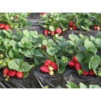贵州草莓苗,润丰苗木,草莓苗基地