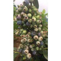供应北高丛蓝莓树苗 大营养杯 结果早成活率98% 3年树苗 2年结果 壹棵树农业销售
