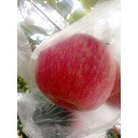 陕西大荔红富士苹果陕西红富士苹果基地价格