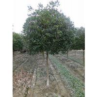 供应四川桂花 四川桂花树 优质的四川桂花树价格哪里便宜