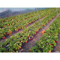 晨旭苗木园艺场(在线咨询),章姬草莓苗,章姬草莓苗灌溉