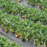 草莓苗批发 拉松6号 章姬 红颜草莓苗批发价格