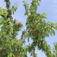 批发早大果樱桃苗 品质好 成活率高 火热销售 泰山大地园艺场