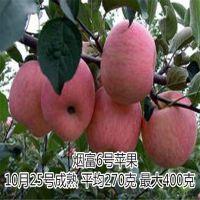 红肉苹果苗基地 100%品种纯正 好吃的苹果 泰东园艺场
