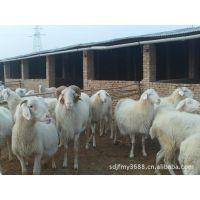 大量夏洛莱牛价格小牛什么品种好小尾寒羊种公羊体重