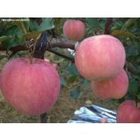 山东今日红将军苹果产地批发价格