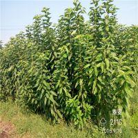 佳一园艺场销售嫁接樱桃苗 两年的樱桃苗价格 粗0.8厘米