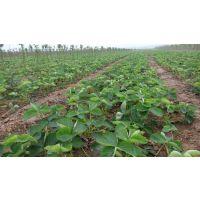 百万 丰香草莓苗 种植批发基地