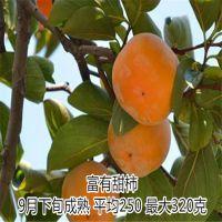 柿子苗供应 牛心柿子苗 次郎甜柿子苗 富有甜柿子苗 柿子苗价格