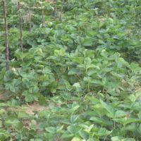 优质脱毒草莓苗|浦东脱毒草莓苗|泰达园艺场