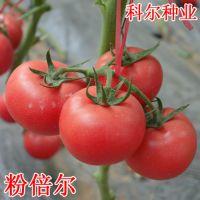 粉倍尔-荷兰进口番茄种子 供应欧盾番茄种子 普罗旺斯西红柿种子