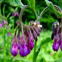 陕西中鑫长期供应优质紫草提取物,紫草根部提取