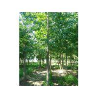 石家庄银杏树,绿都园林,25cm银杏树