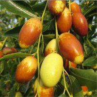 优质品种枣树苗批发基地 泰安同心农业科技有限公司
