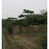 聚源园林(在线咨询)_泰山松_泰山松价格