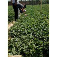 草莓苗|晨旭苗木园艺场(图)|法兰地草莓苗那家好
