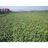 优质绫紫种苗种植
