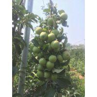 供应矮化苹果苗 红肉苹果苗 柱状苹果苗 优质苗