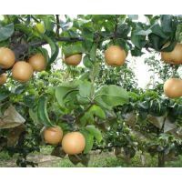 河南新品种梨树苗畅销品种,丰产期3斤梨树苗品种
